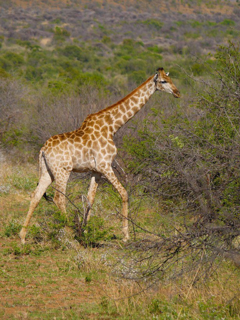 Safari in Pilanesberg National Park, South Africa