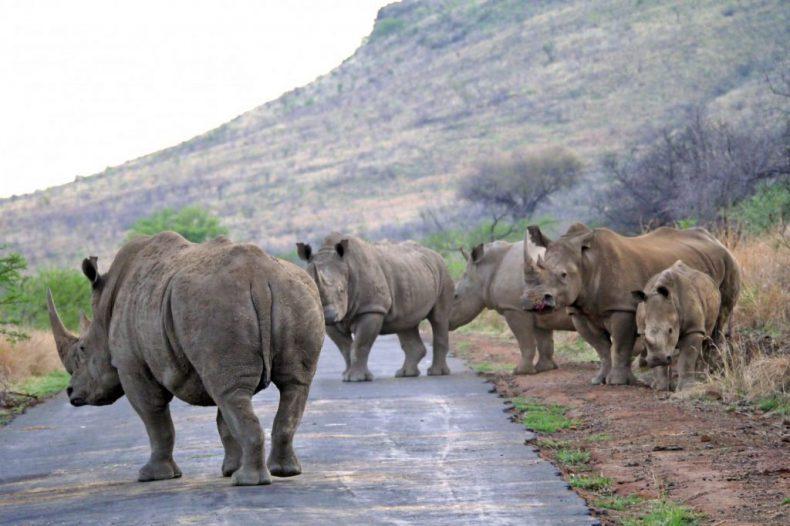 South-Africa-Pilanesberg-Hippo