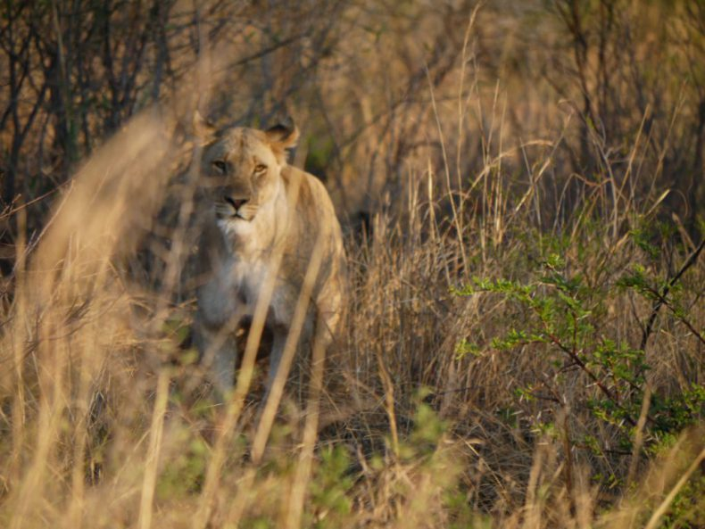 South-Africa-Pilanesberg-Lion