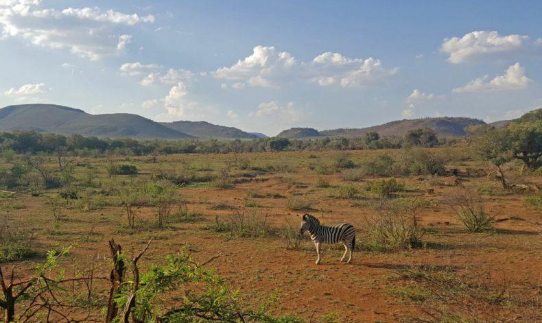 South-Africa-Pilanesberg-Zebra