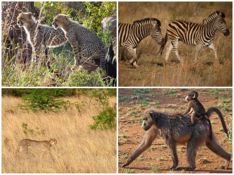 South-Africa-Safari-Pilanesberg