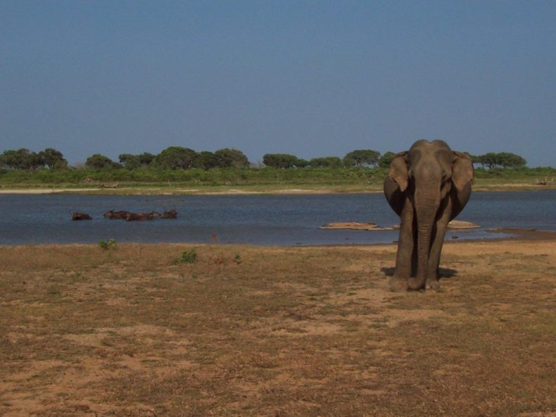 sri-lanka-yala-np-olifant-elephant
